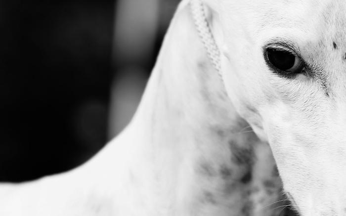 Greyhound_1a